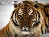 tigerfierce
