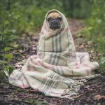 sleeping dog pug cold